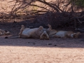 Kalahari-meets-Etosha-17