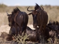 Kalahari-meets-Etosha-49