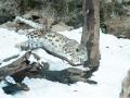 snowleopard-6