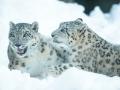 snowleopard-7
