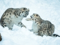 snowleopard-8