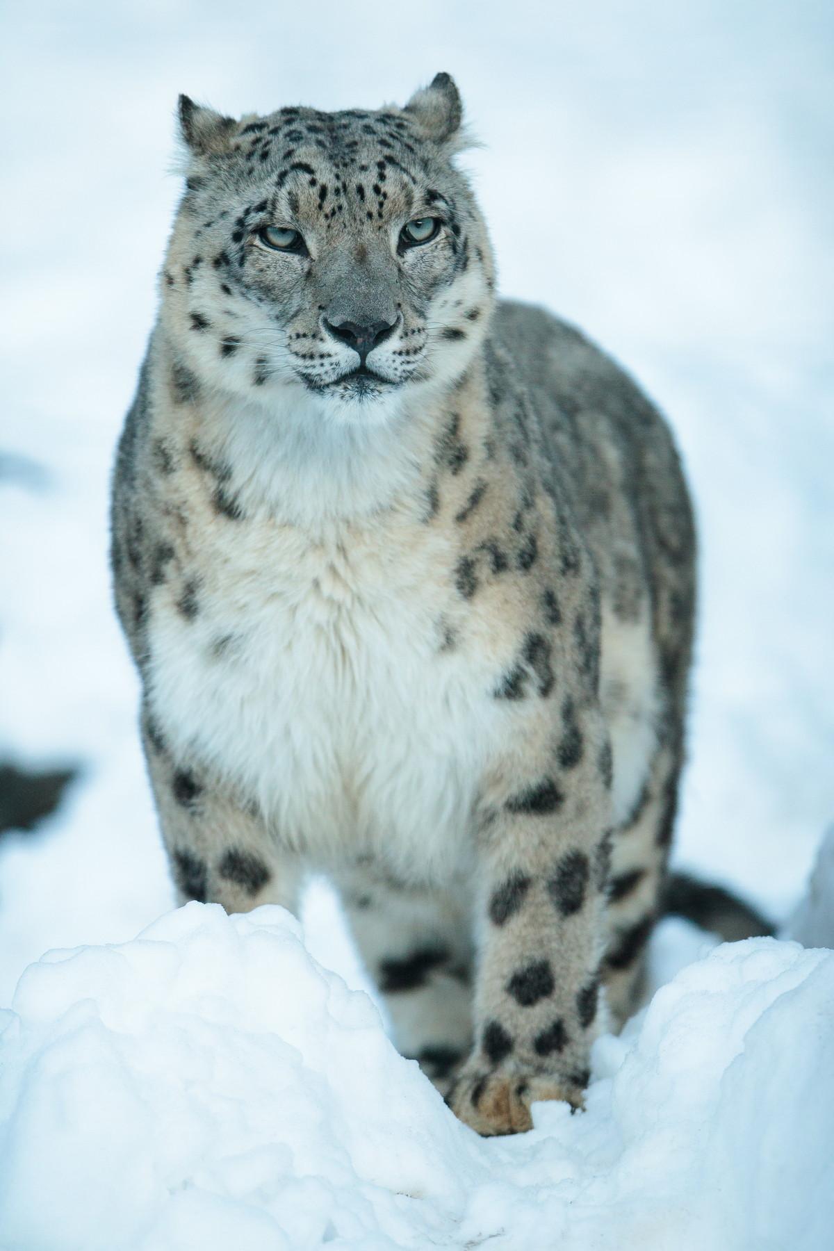 snowleopard-3