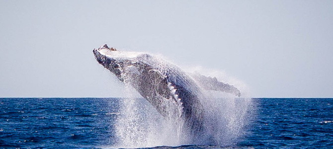 Humpback Whales – above and below the surface…