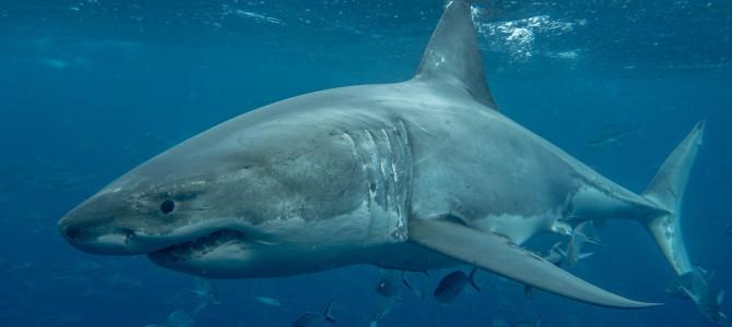 Great White Sharks of Neptune Islands