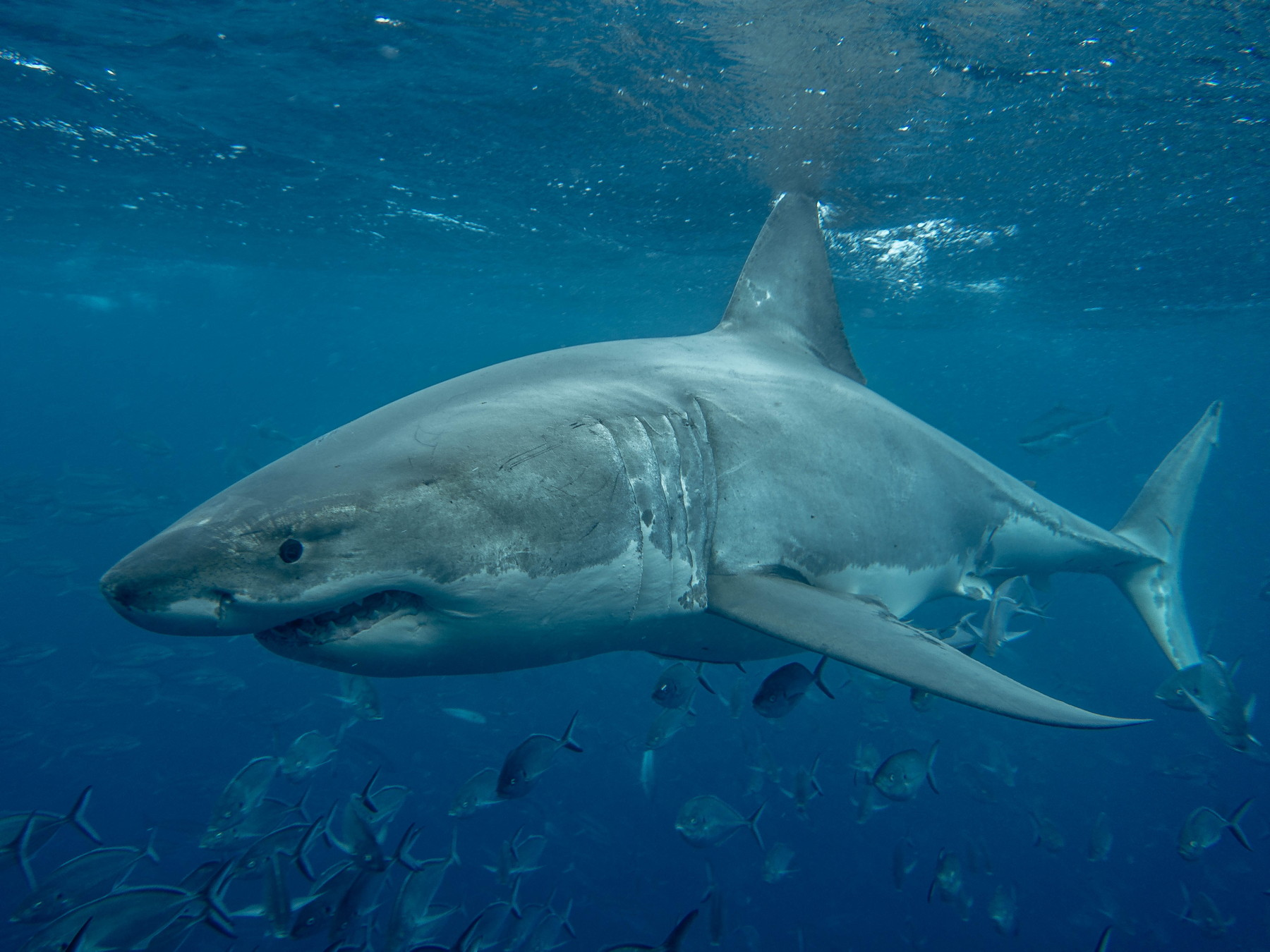Great White Sharks of Neptune Islands