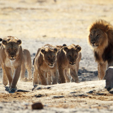 Lions in the Western section of Etosha National Park