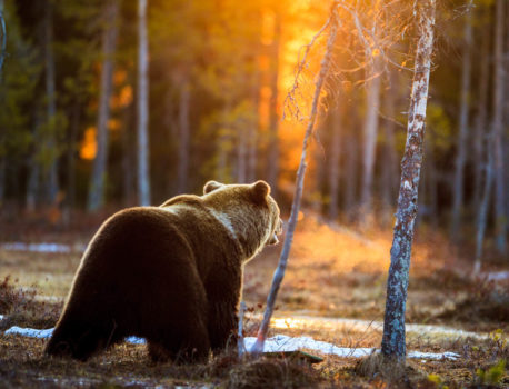 "Finland – A wildlife photographers dream; or about Bears & a ""ghost"""
