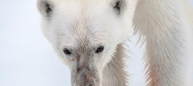 Svalbard / Spitsbergen – Land of the polar bears