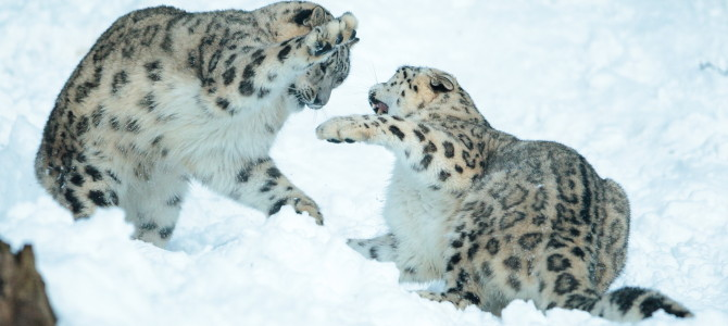 Snow leopards – Happy New Year!